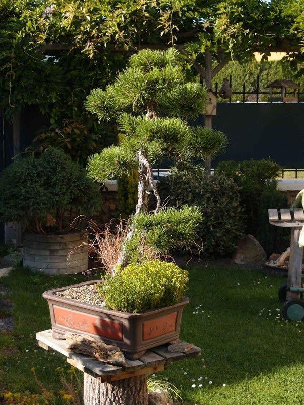 Pinus Uncinata 2014