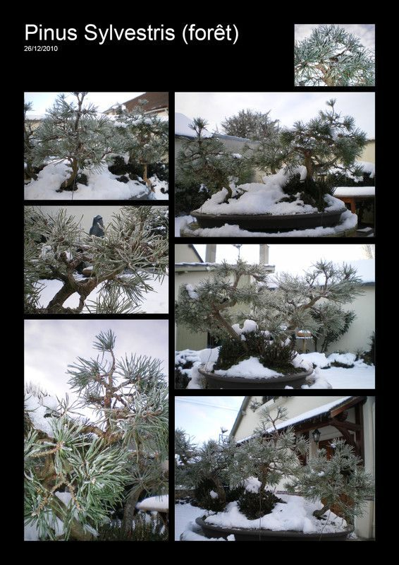 PINUS SYLVESTRIS_2