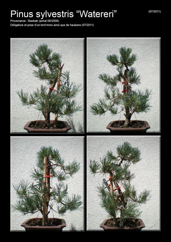 Pinus sylvestris Watereri