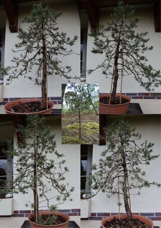 Projet pour un pin