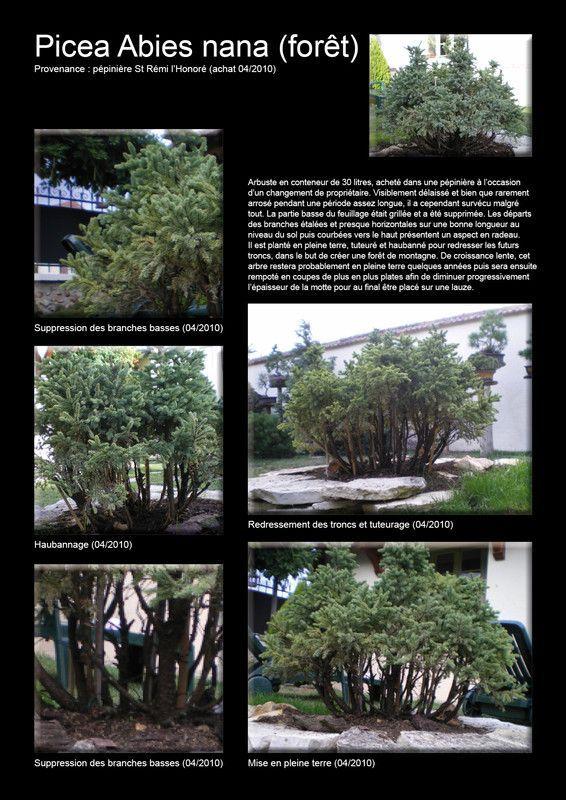 Picea Abies nana