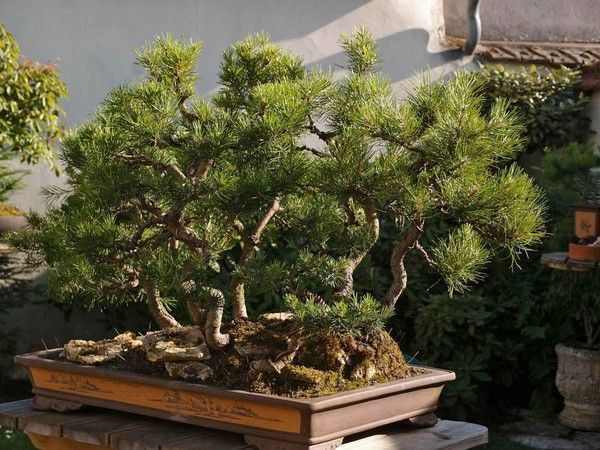 Forêt pins 2014