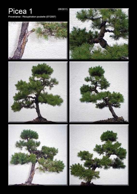 Picea 1